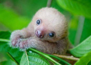 50 immagini dei bradipi più belli: gli animali più pigri del mondo