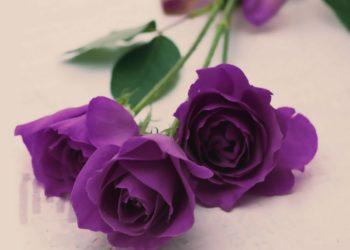 مجموعة من اجمل صور الورد البنفسجي