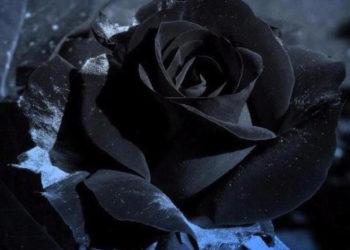 مجموعة من أجمل صور الورود السوداء - زهور غامضة وغامضة