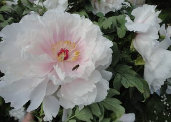 最も美しい白い牡丹の写真のコレクションはあなたを賞賛するように誘います