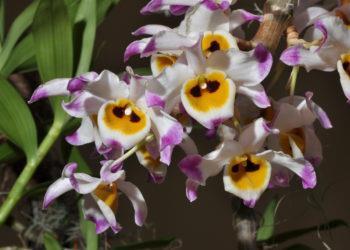 Sintetizza immagini di orchidee U Convex - Hoang Thao U convesse più belle