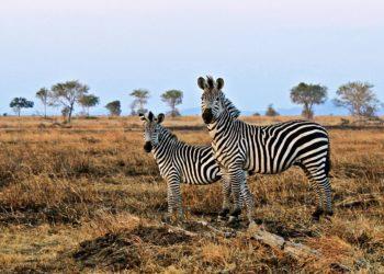 Sammlung der schönsten Zebrabilder