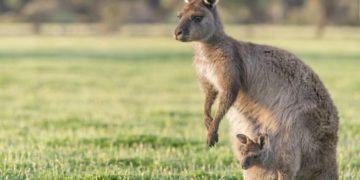 ملخص صورة الكنغر الكنغر - التميمة الشهيرة من أستراليا