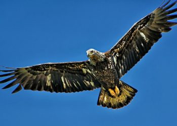 Sommario delle ali che volano aquila nel cielo