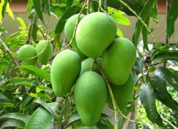 Note de la mère enceinte: les fruits doivent être évités pendant la grossesse