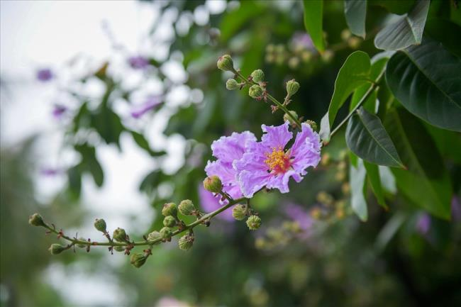 Красивое фиолетовое изображение цветка чечевицы