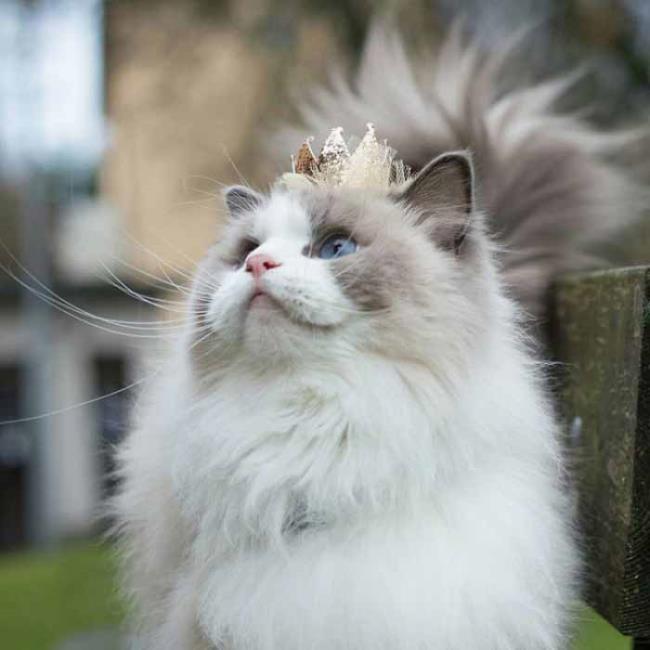 सबसे सुंदर ब्रिटिश लंबे बालों वाली बिल्ली का सारांश