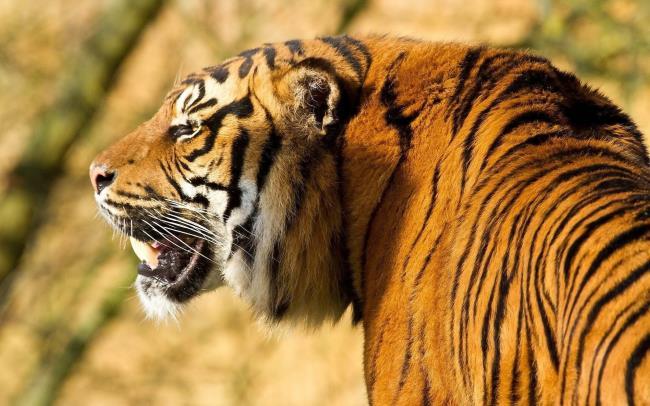 Collection de la plus belle image de tigre