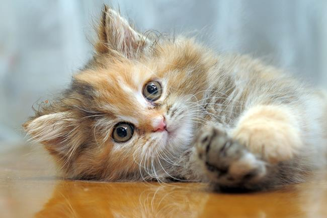 Rezumatul celei mai frumoase urechi de pisică americane răsucite