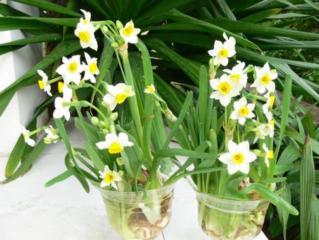 Cara menanam dan merawat daffodil