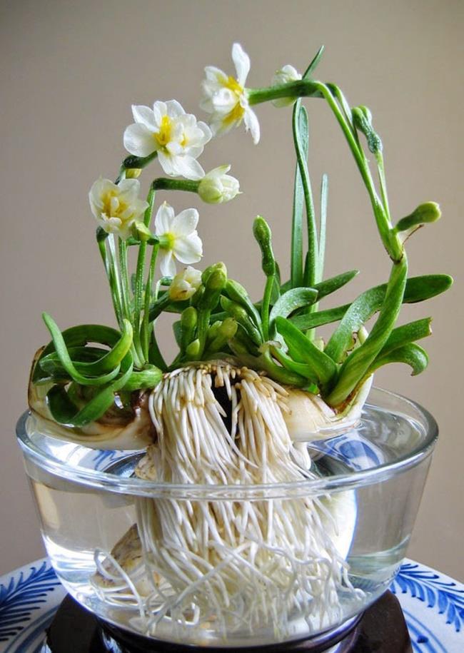 Bunga narcissus yang cantik
