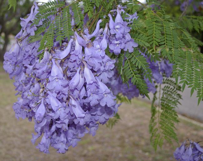 Sammlung der schönsten lila Phönixblumen