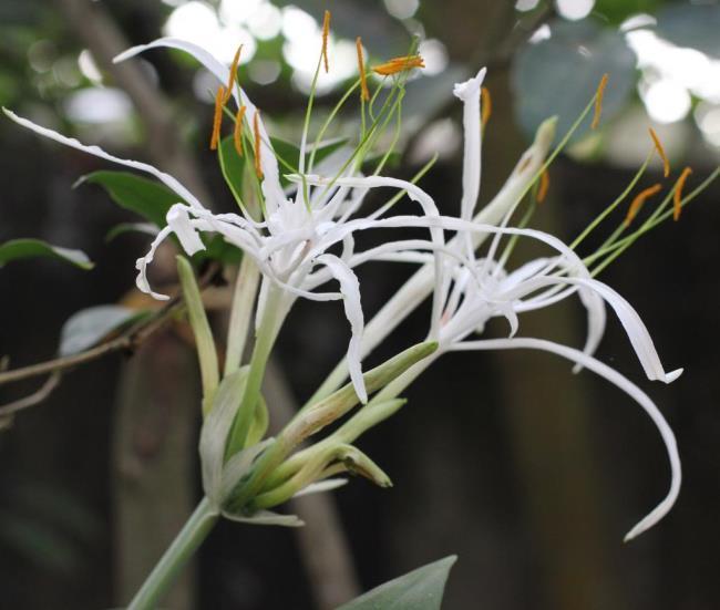 Photos de la belle Crinum latifolium L.