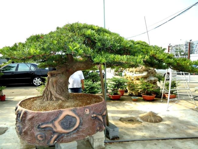 Schöner alter Pfingstrosenbaum