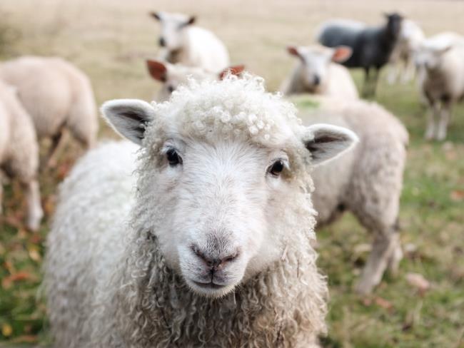 सबसे सुंदर भेड़ का संश्लेषण