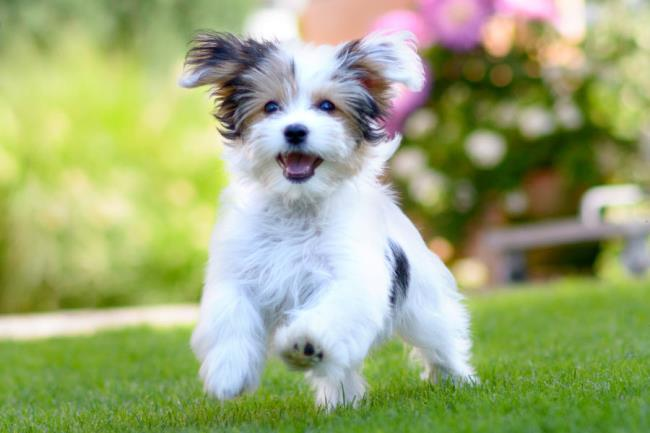 Collection des plus belles images de chien bichon havanais
