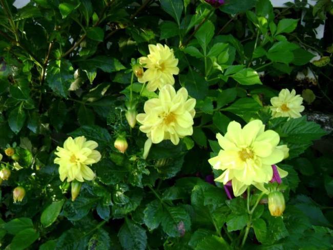 Die Bedeutung der Dahlienblüte