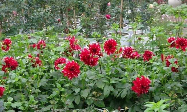 Schönes rotes Dahlienblumenbild
