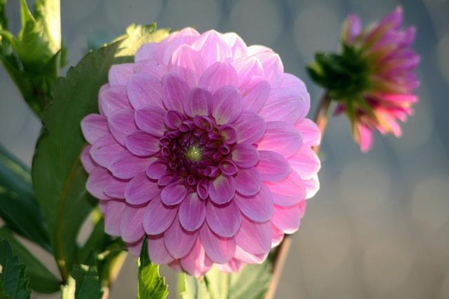 Schöne lila Dahlienbilder