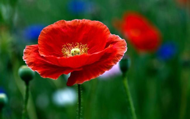 صورة زهرة الخشخاش