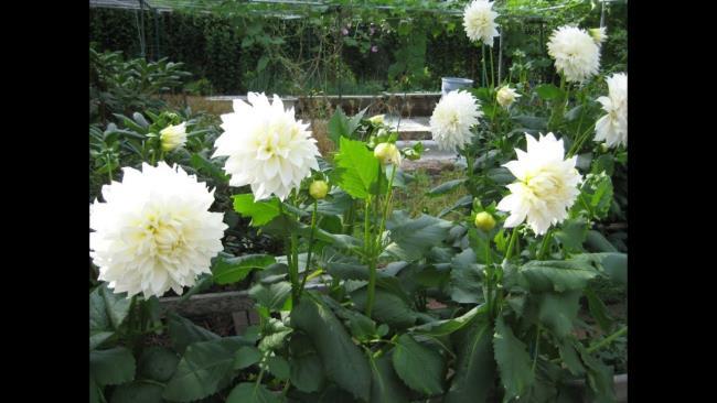 Schönes weißes Dahlienblumenbild