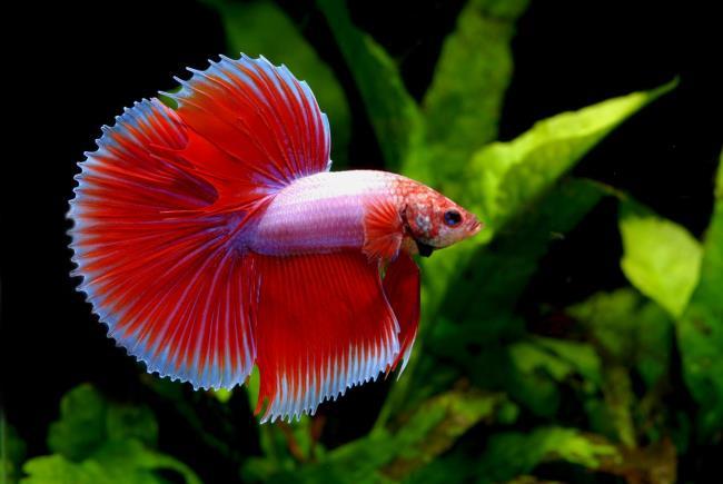 Gambar gambar ikan bertarung terbaik