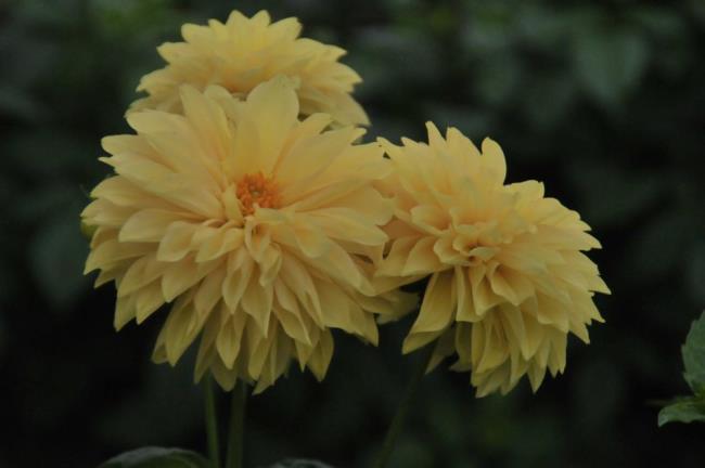 Schöne gelbe Dahlienblüten