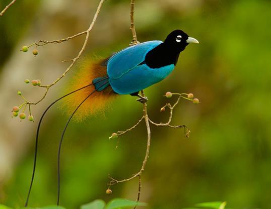 स्वर्ग के सबसे खूबसूरत पक्षियों का सारांश