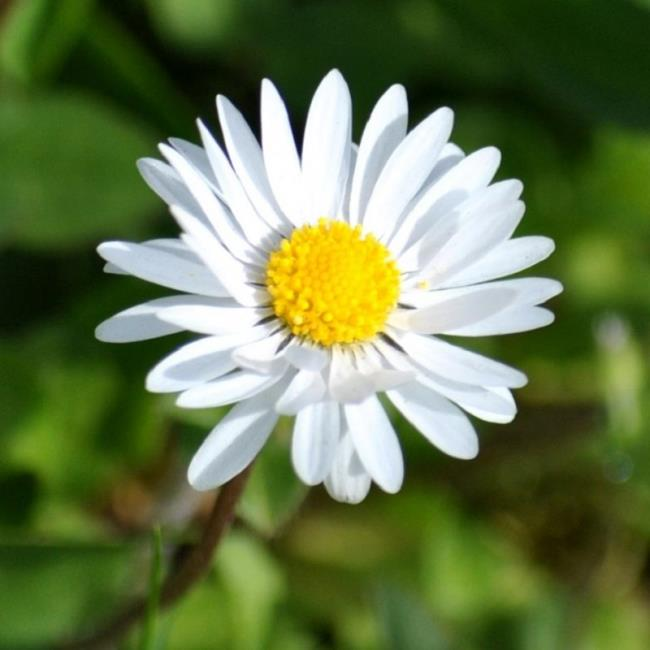 Mooie witte chrysantenbloem