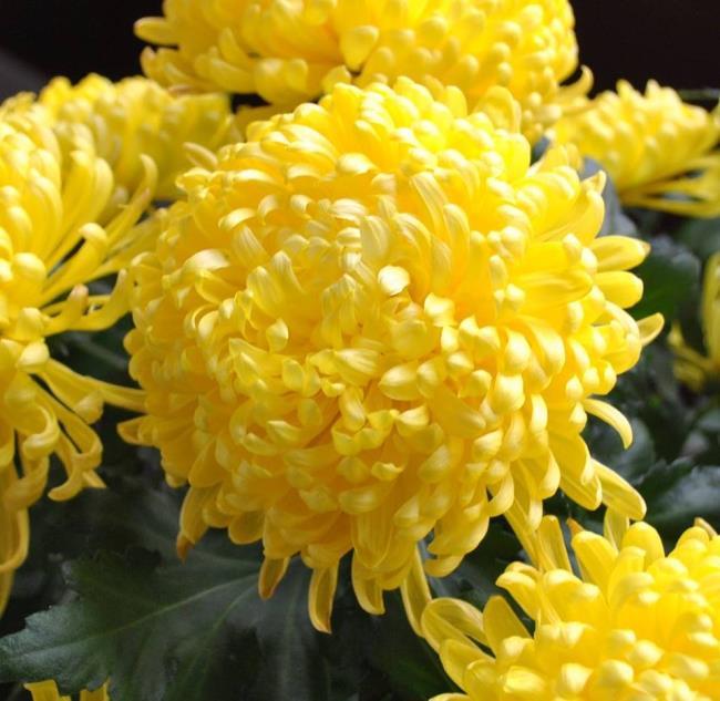 Mooie gele chrysantenbloem