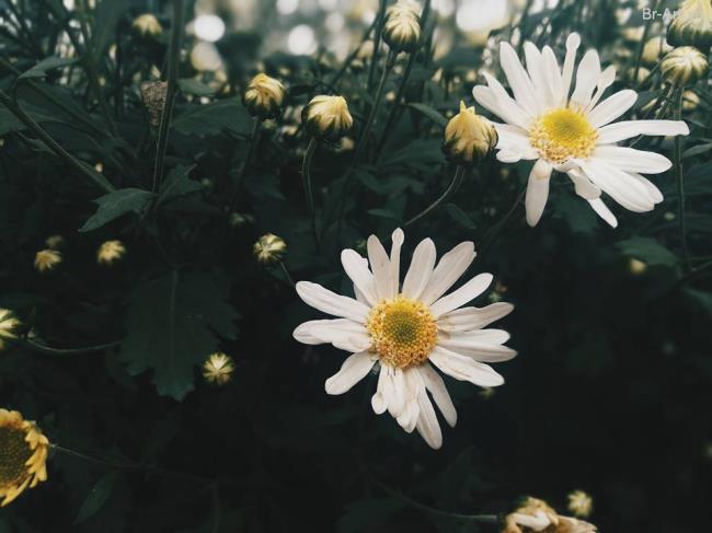 Prachtig chrysanthemum chrysanthemum foto