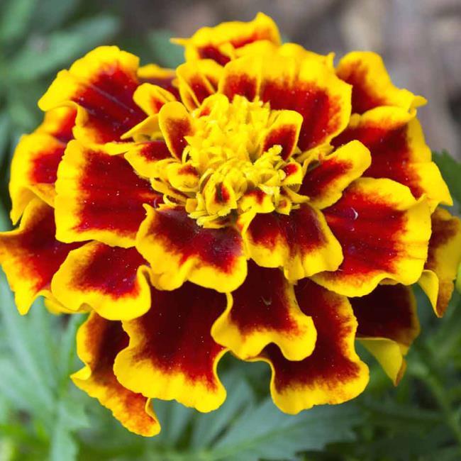 Mooie goudsbloem bloem foto