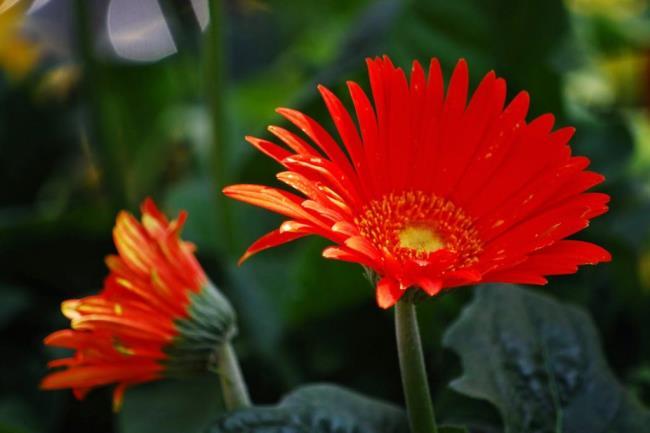 Mooi gerberabeeld van chrysanten