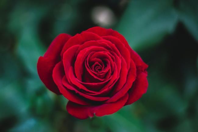 सबसे सुंदर लाल गुलाब चित्रों का संग्रह