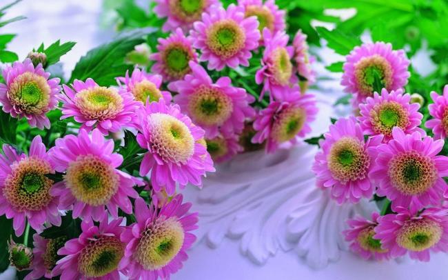 Mooie paarse chrysanthemum bloem