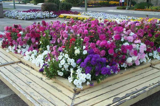 Foto´ prachtige Taiwan chrysanthemum
