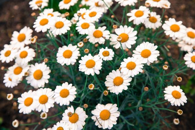 Foto´ prachtige madeliefjeschrysant
