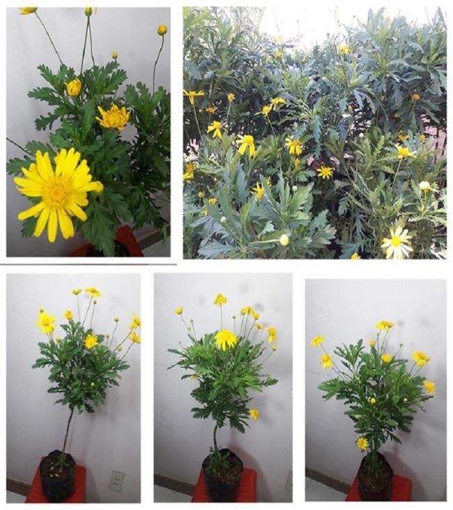 Foto´ mooie chrysanthemum stam