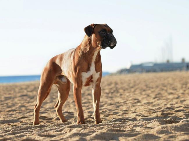 Rezumatul celor mai frumoși boxeri de câini