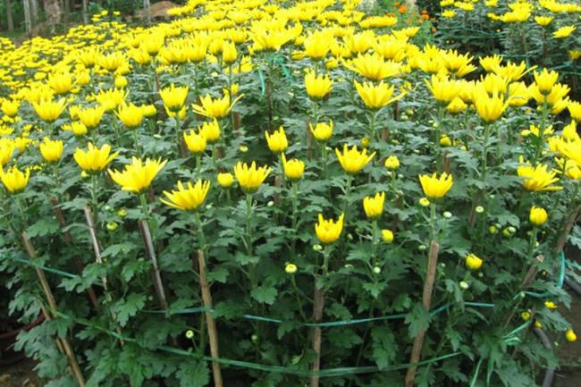 Prachtig chrysanthemum kristal foto