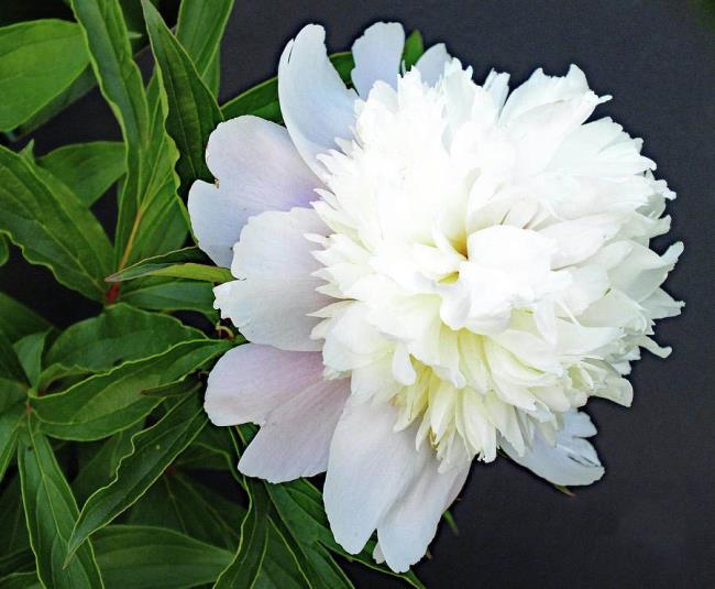 Imbinând imagini cu cea mai frumoasă bujor alb