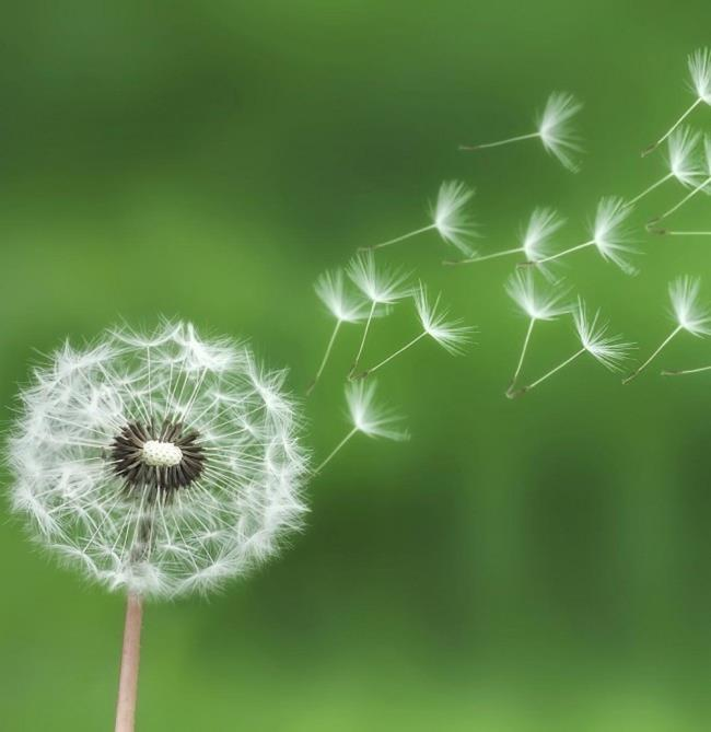 The meaning of dandelion flowers