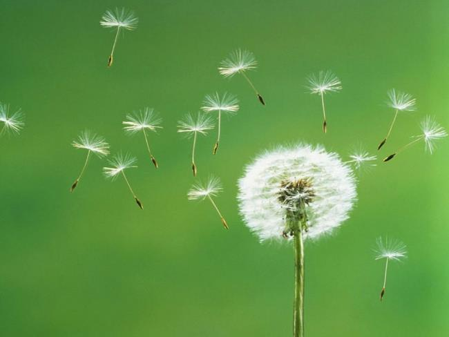 Beautiful dandelion flower pictures