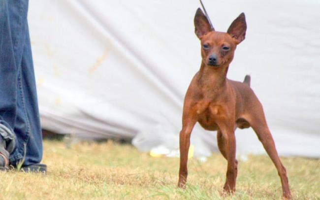 مجموعة من أجمل صور كلب Phoc