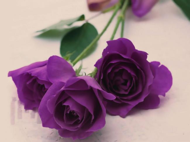 Koleksi Gambar Bunga Mawar Ungu Yang Paling Indah
