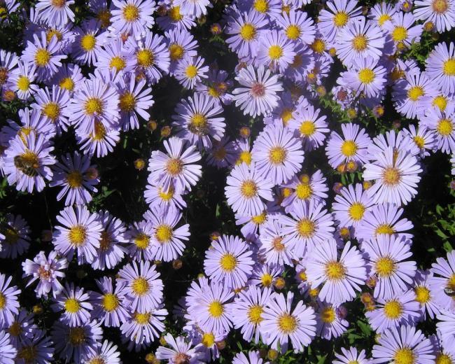 Красивые белые цветы вереска