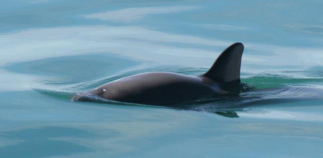 Golfinhos Vaquita usados como um lindo papel de parede