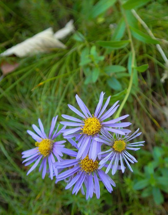 美しい白いヘザーの花