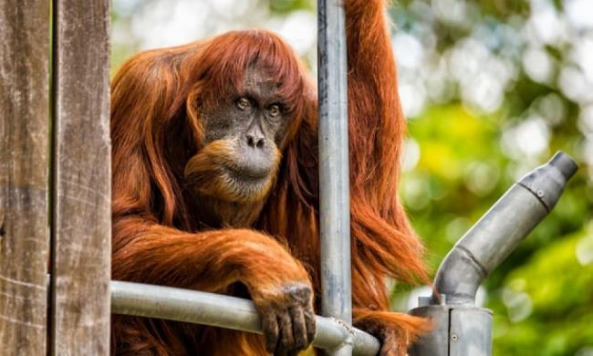Imagens de orangotangos usados como papel de parede bonito