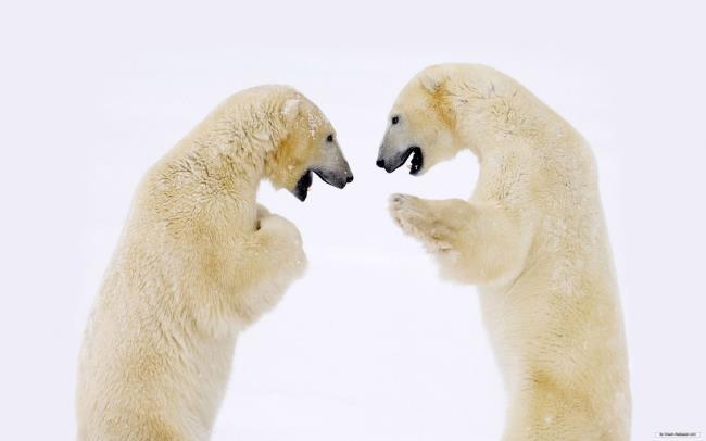 Imagem Urso polar usado como papel de parede bonito